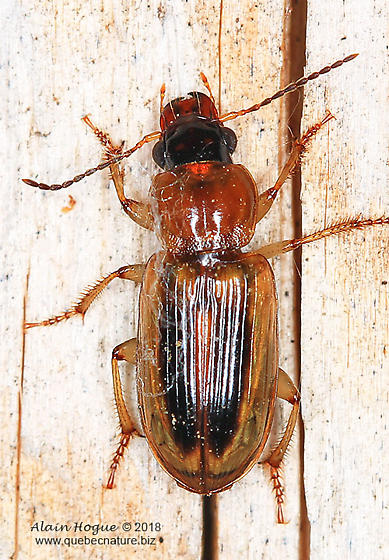 Anisodactylus ? - Stenolophus comma