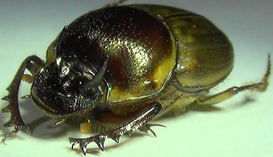 Shiny Dung-lover - Digitonthophagus gazella - male