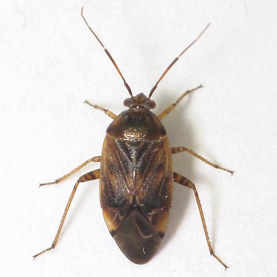 Brown mirid - Lygus lineolaris
