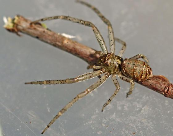 spider - Tmarus floridensis