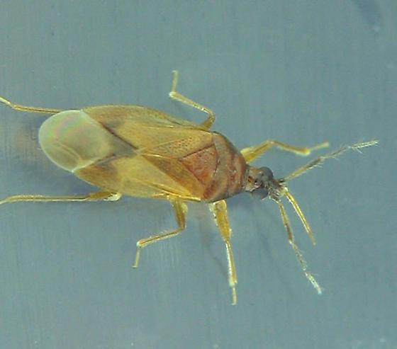 aspen log bug - Amphiareus obscuriceps