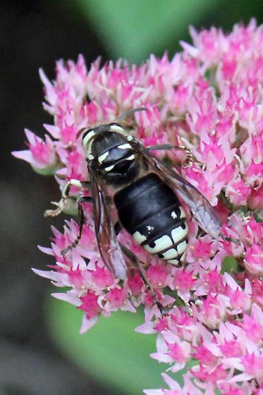 Baldfaced Hornet - Dolichovespula maculata - Dolichovespula maculata - female