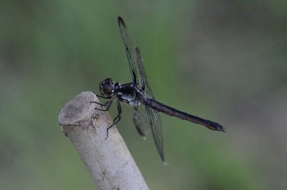 Skaty Skimmer, perhaps - Libellula axilena