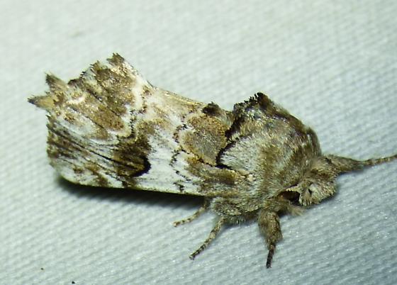 unknown moth - Schizura apicalis