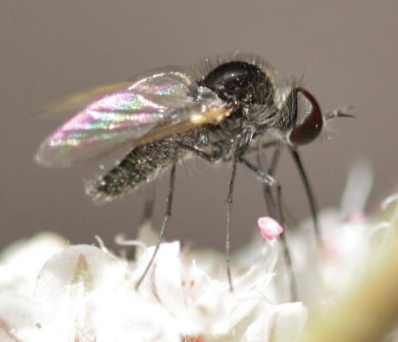 Bee fly - Geron