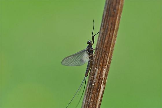 Spring Fly - Leptophlebia