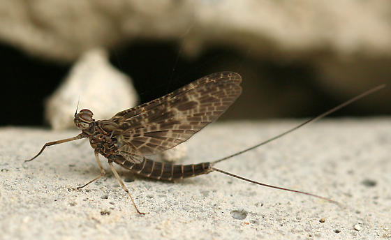 Mayfly - Callibaetis ferrugineus - male