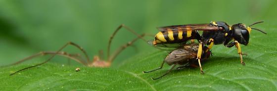 # 105 - Ectemnius cephalotes - female