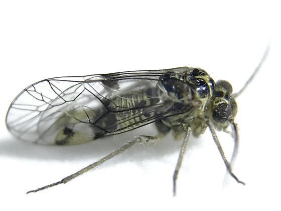 Metylophorus novaescotiae - Hyalopsocus striatus - male