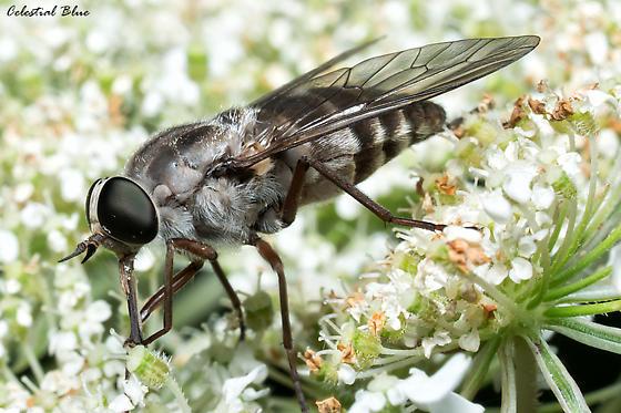 Drone Fly? - Stonemyia rasa - female