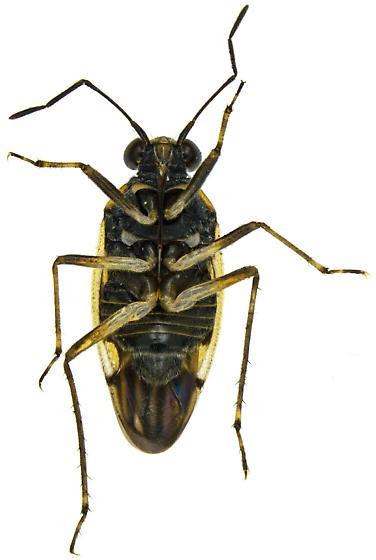Male, Shore Bug? - Rupisalda