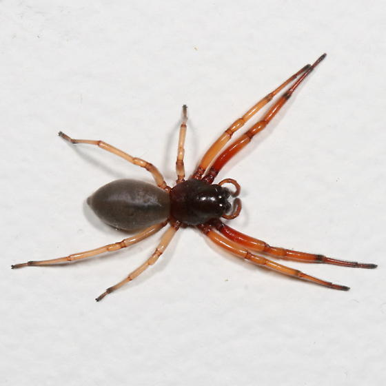 spider - Trachelas