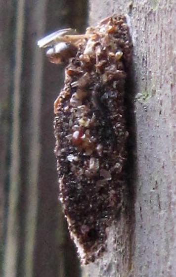Bagworm Moth - Dahlica triquetrella