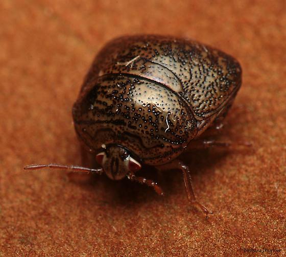 Kudzu Bug? - Megacopta cribraria