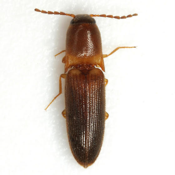 Megapenthes rufilabris (Germar) - Megapenthes rufilabris