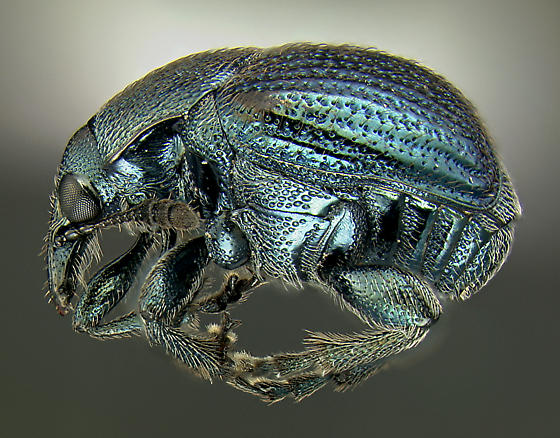 Attelabid - Pterocolus ovatus