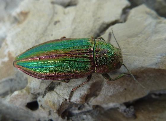 Metallic beetle in Montana grassland - Buprestis aurulenta