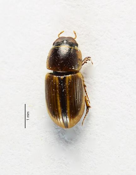 Aphodius.... - Aphodius pseudolividus