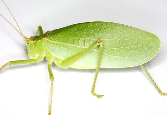 Pterophylla camellifolia (Fabricius) - Pterophylla camellifolia - female