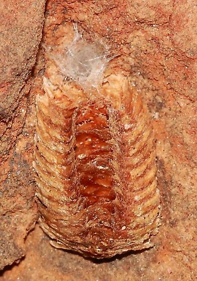 Mantis ootheca - Stagmomantis