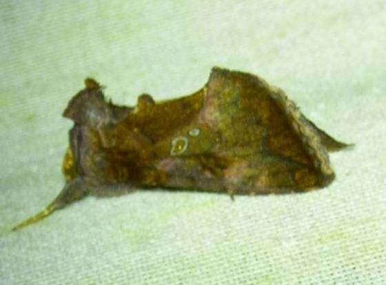 Autographa precationis - Common Looper Moth - Argyrogramma verruca