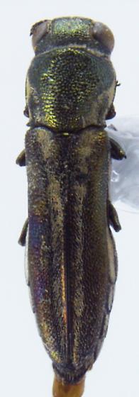 Agrilus malvastri Fisher 1928 - Agrilus malvastri - male