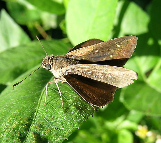 Skipper - Cymaenes tripunctus