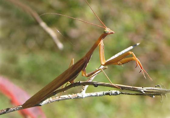 Mantis ID requested - Mantis religiosa - male