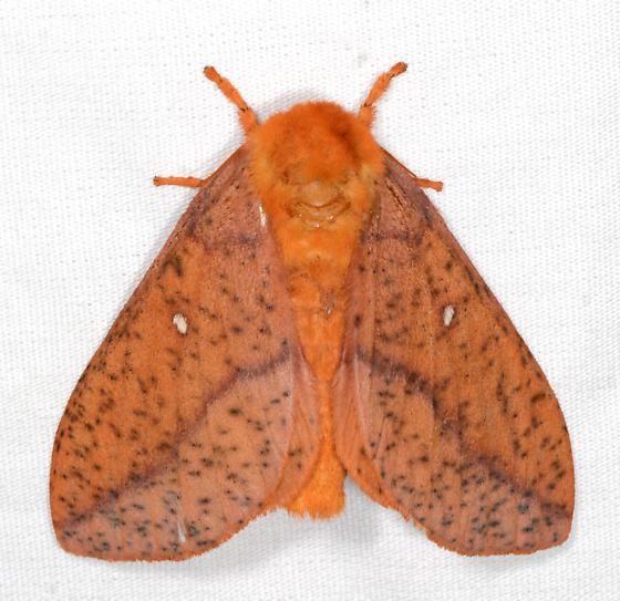 Anisota stigma - Spiny Oakworm Moth - Anisota stigma