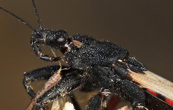 Assasin Bug? - Microtomus purcis