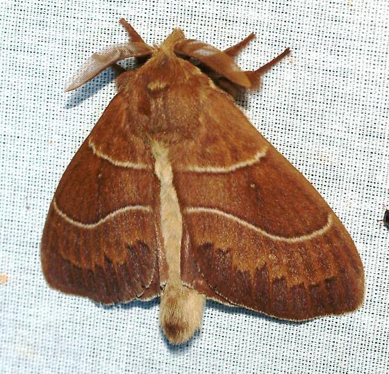 - Dicogaster coronada - male