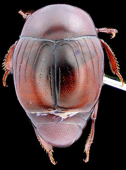 Hister Beetle, dorsal - Euspilotus
