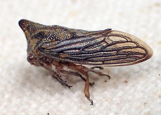 Horned membracid with prominent wing veins - Platycotis