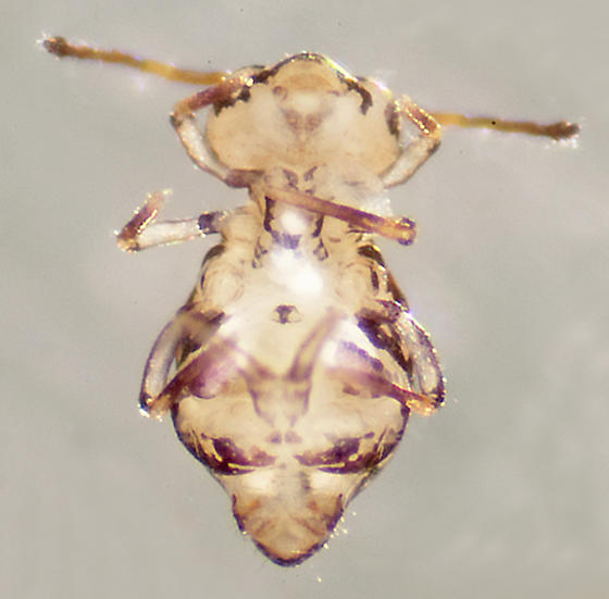 Unknown Collembola - Calvatomina