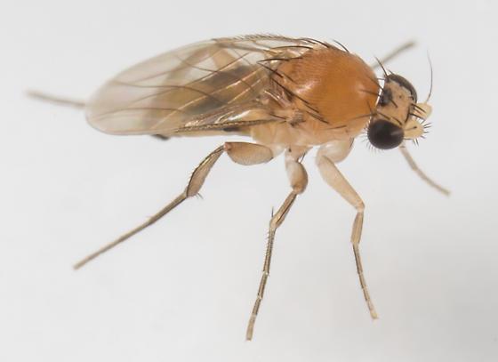 Fly - Apocephalus