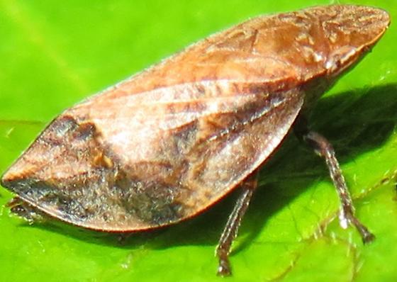 Leafhopper - Lepyronia angulifera