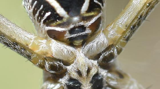Orb Weaver - Argiope argentata - female