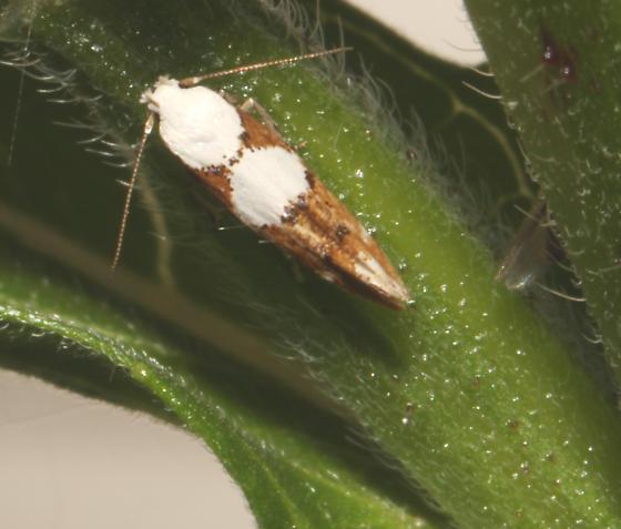 Momphidae, on Evening Primrose, dorsal - Mompha circumscriptella - female