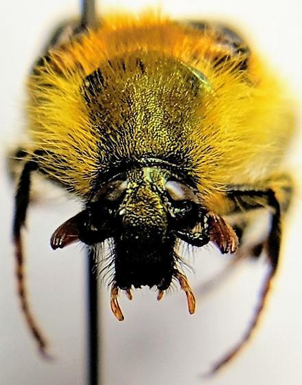 Belden Bee Mimic 2 - Lichnanthe