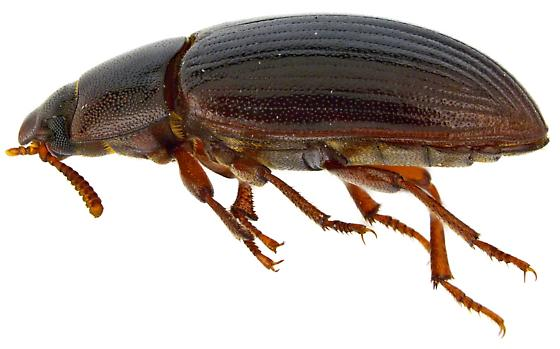 Alphitobius diaperinus? - Alphitobius diaperinus