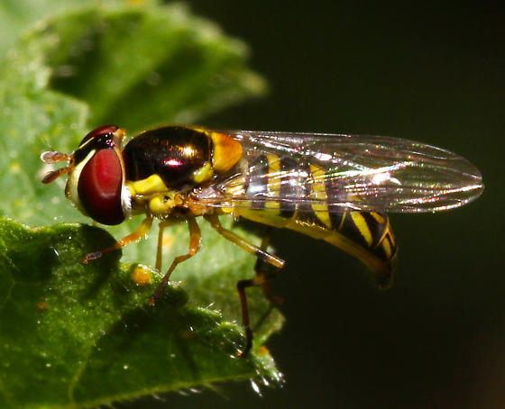 West Coast Syrphidae - Allograpta obliqua