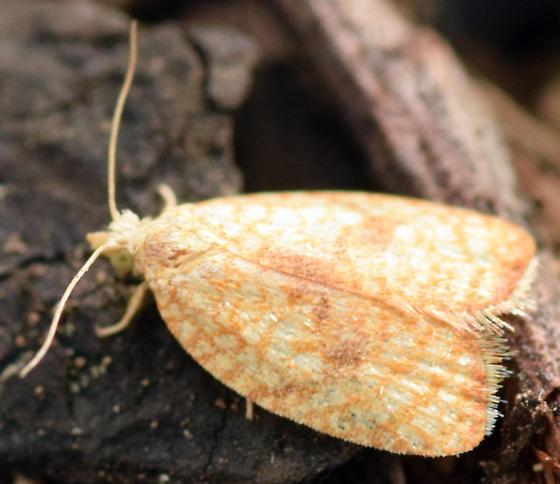 maple leaftier - Acleris forsskaleana