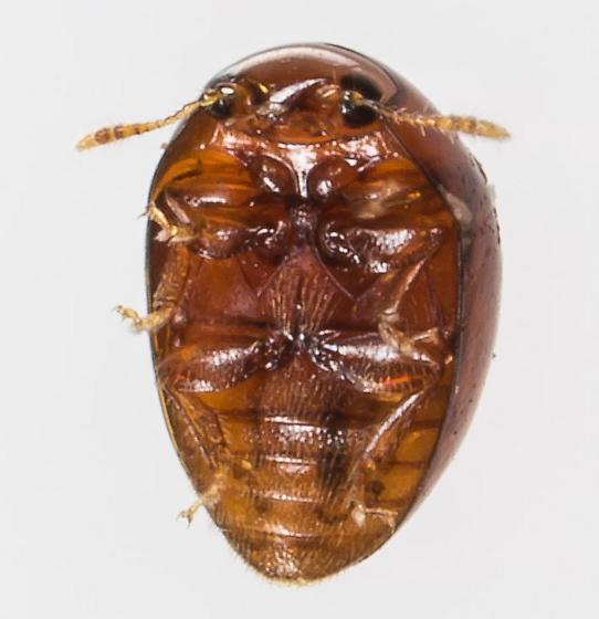 Beetle - Stilbus
