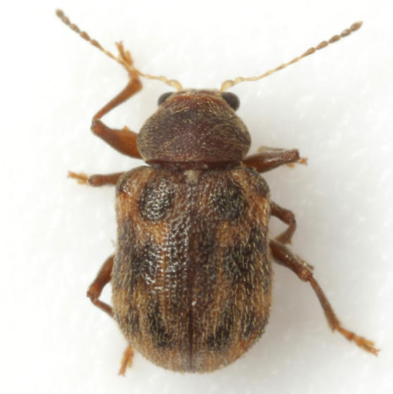 Xanthonia sp. 3 - Xanthonia