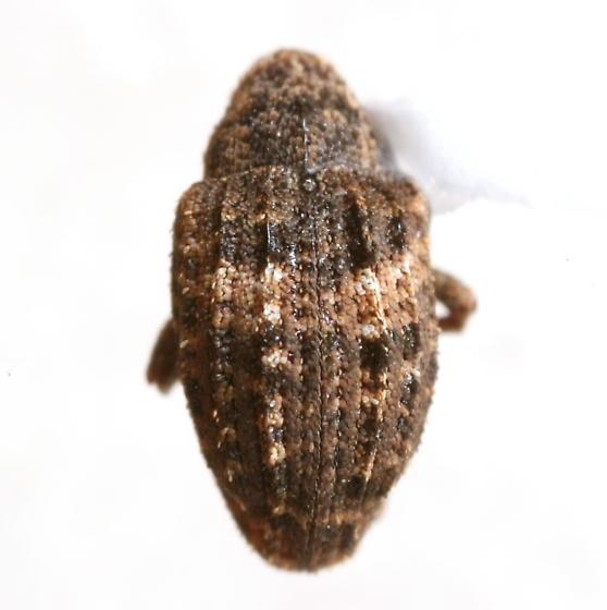 Eubulus obliquefasciatus (Boheman) - Eubulus obliquefasciatus