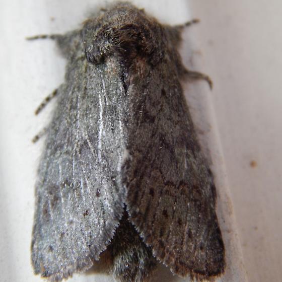 Heterocampa moth
