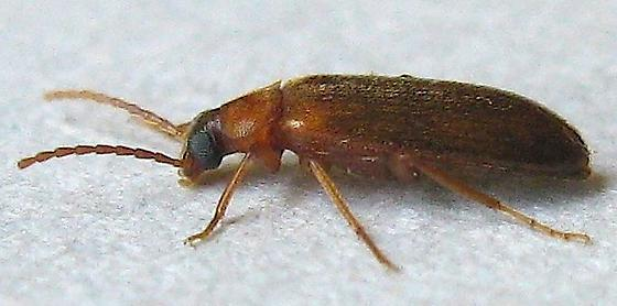 False Flower Beetle? - Canifa