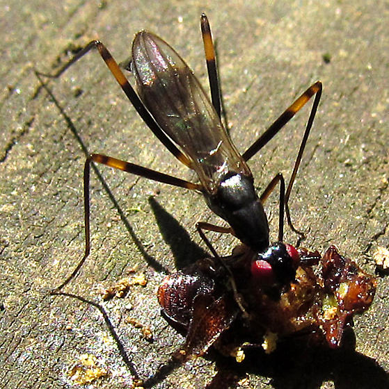 Stilt-legged Fly in the Marsh - Rainieria antennaepes