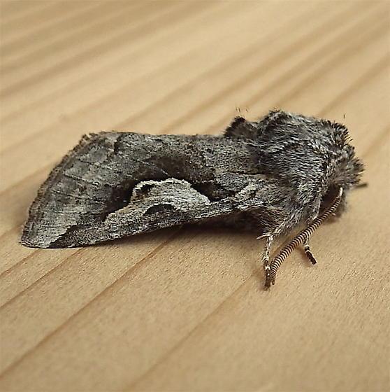 Noctuidae: Stretchia plusiaeformis - Stretchia plusiaeformis