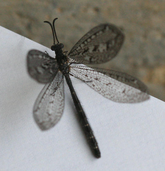 Antlion - Brachynemurus nebulosus - female